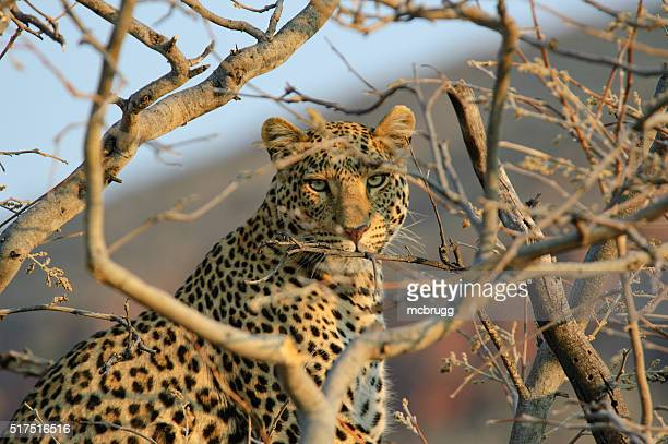 Leopard in einem Baum