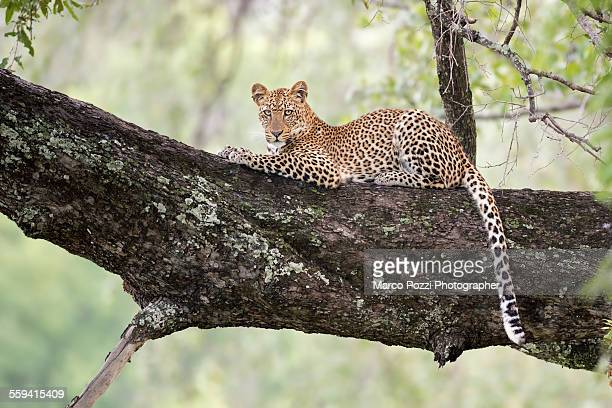 leopard on a tree - south luangwa national park stock pictures, royalty-free photos & images