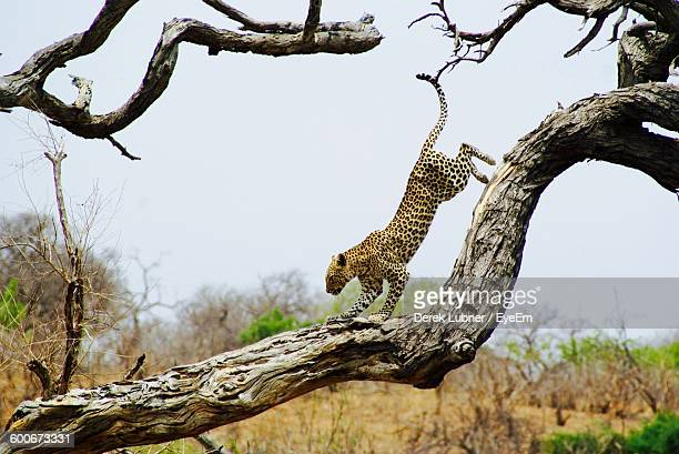 Leopard On Fallen Tree Against Clear Sky