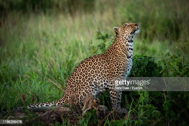leopard on grassy land - leopard stock pictures, royalty-free photos & images