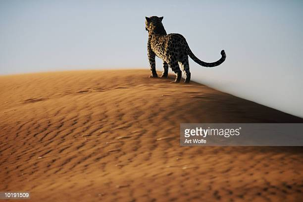 leopard (panthera pardus) on sand dune - leopard photos et images de collection