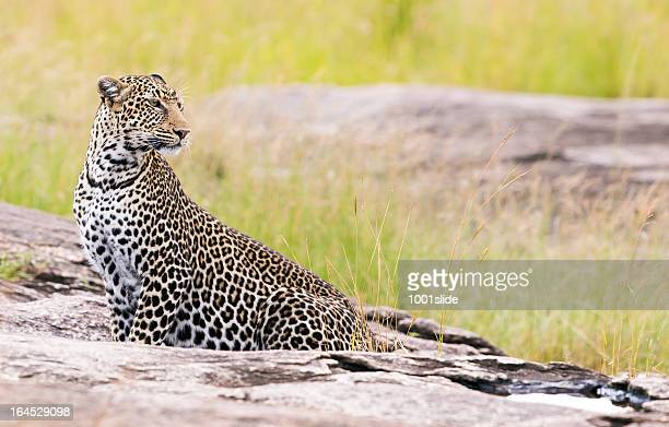 Leopard - on the rock, side view, sitting
