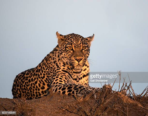 Leopard on the Termite Mound