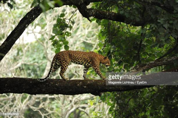 leopard on tree branch - leopard photos et images de collection