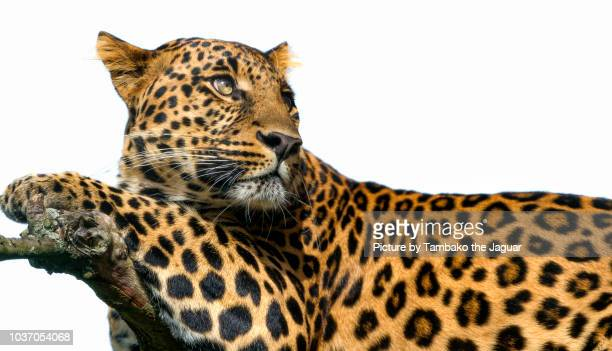 leopard on white background - leopard photos et images de collection