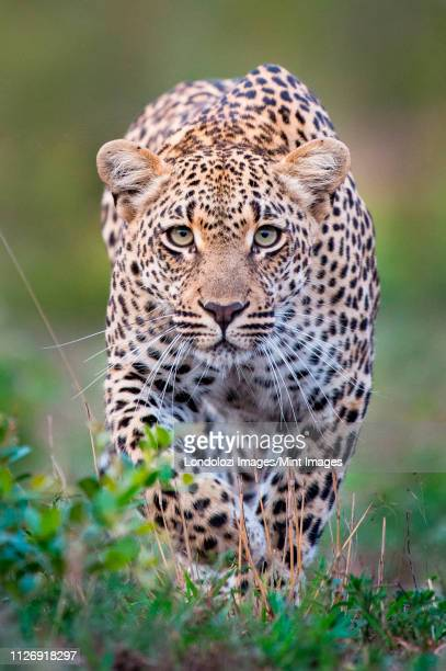 a leopard, panthera pardus, alert, walks towards the camera  in stalking posture, with large green yellow eyes - leopard stock pictures, royalty-free photos & images