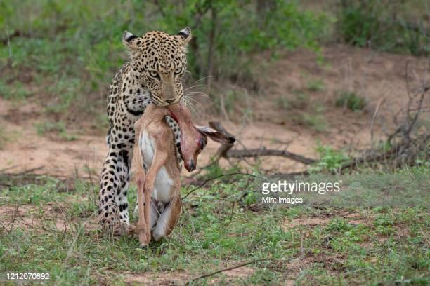 a leopard, panthera pardus, carries its kill in its mouth, aepyceros melampus - animales cazando fotografías e imágenes de stock