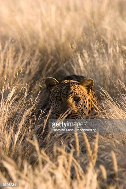 Leopard, Panthera pardus, Duesternbrook Private Game Reserve, Windhoek, Namibia, Africa
