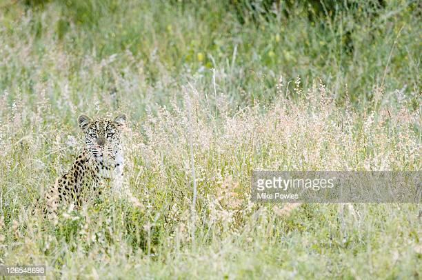 leopard, panthera pardus, female camouflaged in long grass, central kalahari game reserve, botswana - ネコ科 ストックフォトと画像