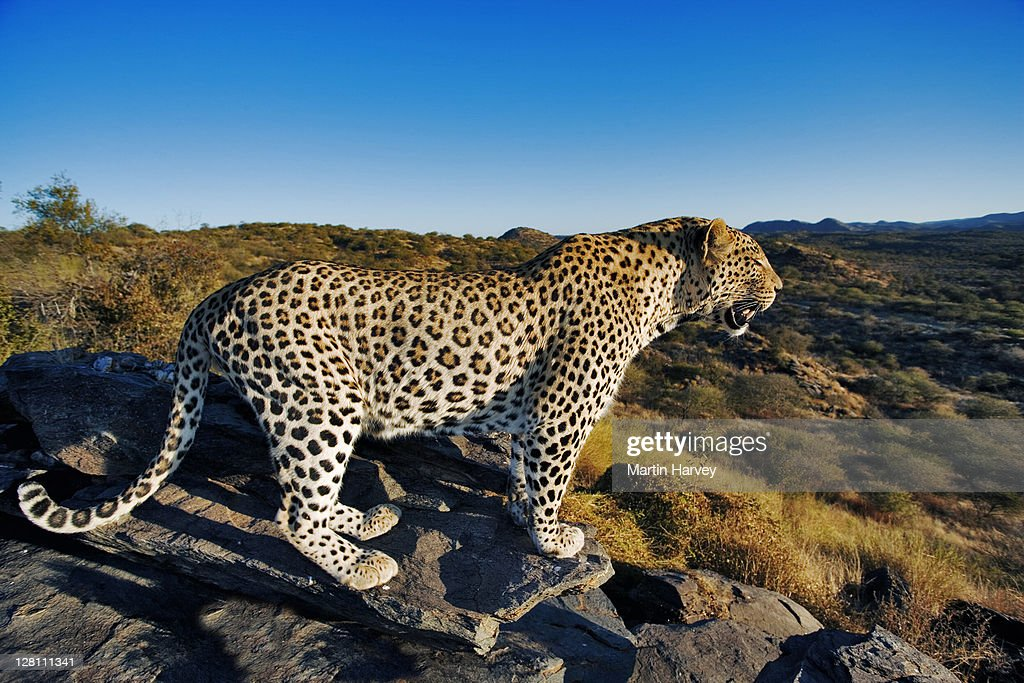 Image of: Honey Badger Largest Of Spotted Cats In Africa Leopards Are Solitary Nocturnal Animals That Are Primarily Arboreal Namibia Dist Africa To Far East South East Asia Getty Images Leopard Panthera Pardus Largest Of Spotted Cats In Africa Leopards