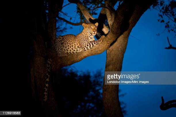 a leopard, panthera pardus, lies in a tree, tail hangs down, looking away, at night lit up by spotlight - night safari stock pictures, royalty-free photos & images