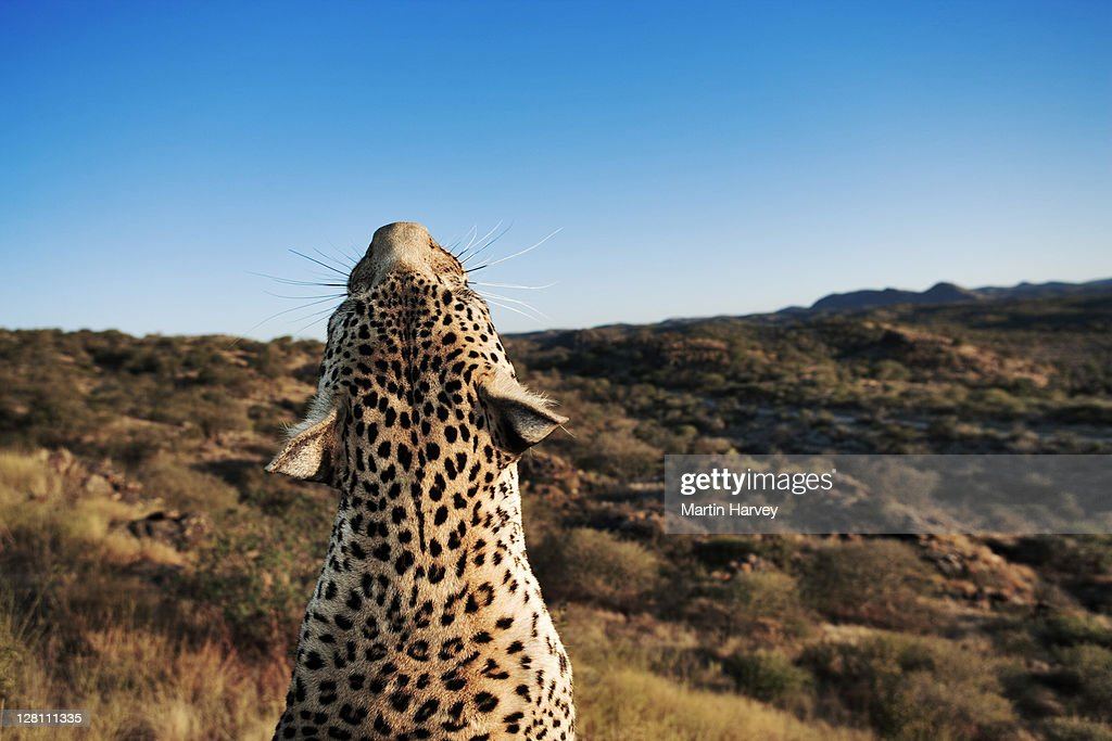 Eyes Leopard Panthera Pardus Looking Skyward Largest Of Spotted Cats In Africa Leopards Shutterstock Leopard Panthera Pardus Looking Skyward Largest Of Spotted Cats In