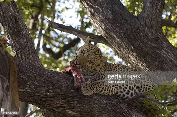 leopard panthera pardus, male with kill in tree, moremi, botswana, africa - asiatische wildkatze stock-fotos und bilder