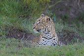 leopard panthera pardus masai mara national