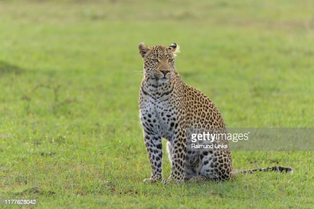 leopard, panthera pardus, masai mara national reserve, kenya, africa - leopard stock pictures, royalty-free photos & images