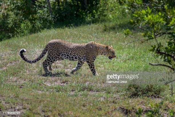 leopard, panthera pardus, running in bush, masai mara national reserve, kenya, africa - leopard stock pictures, royalty-free photos & images