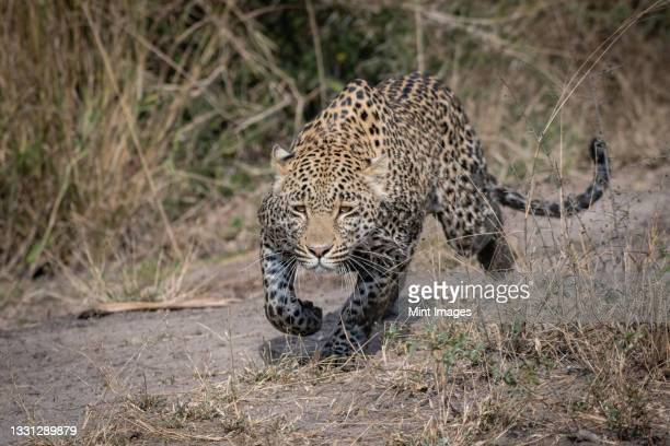 a leopard, panthera pardus, stalks with muddy legs - hunting stock pictures, royalty-free photos & images