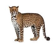 leopard, Panthera pardus, standing,side view, studio shot