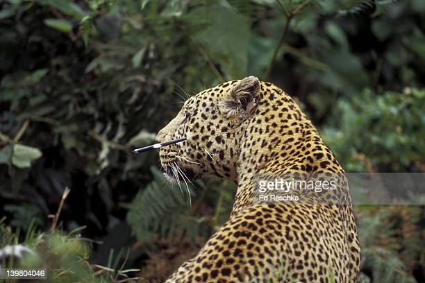 leopard. panthera pardus. stuck with quill of porcupine it killed in tree. ngorongoro crater, tanzania - ed reschke photography stock photos and pictures