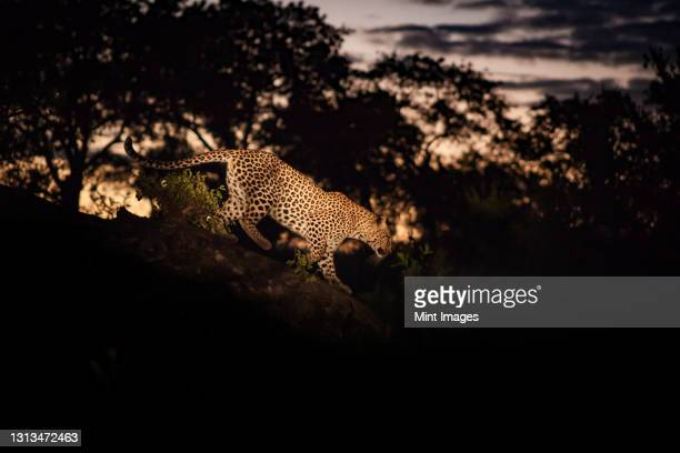 a leopard, panthera pardus, walking along a log at night, lit by spotlight. - night safari stock pictures, royalty-free photos & images