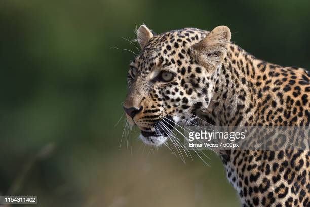 leopard - animal whisker stock pictures, royalty-free photos & images