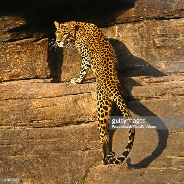 leopard - leopardo foto e immagini stock