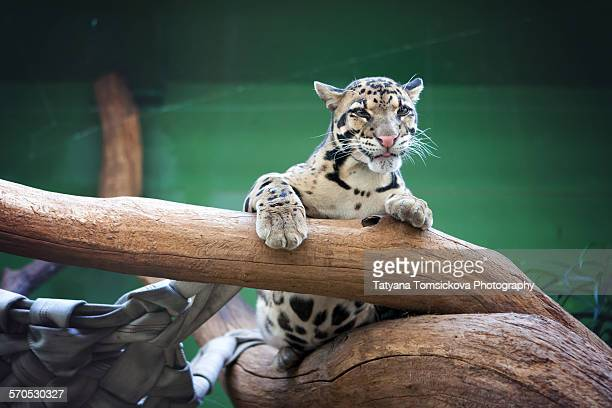 leopard - czech hunters stock pictures, royalty-free photos & images