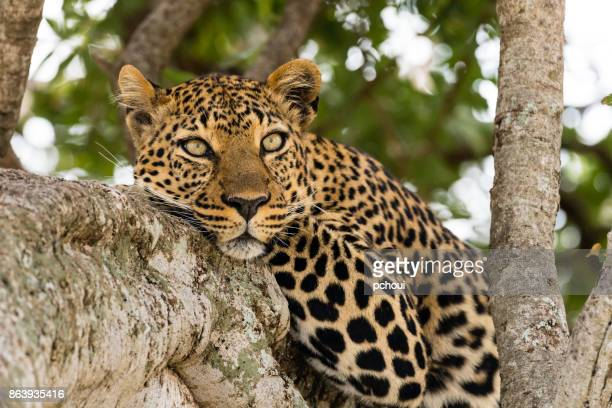 leopard - leopard stock pictures, royalty-free photos & images