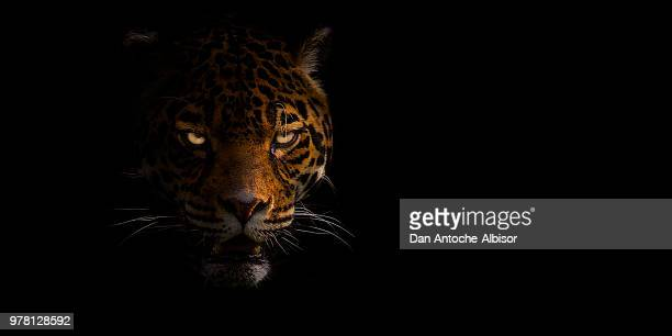 leopard - jaguar stock photos and pictures