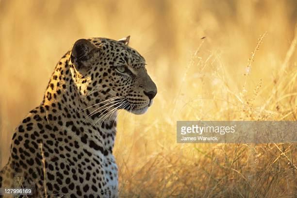 Leopard portrait at dawn