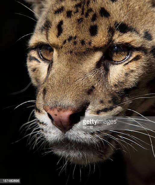 leopard portrait - clouded leopard stock photos and pictures