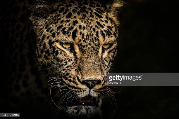 leopard portrait - rare stock pictures, royalty-free photos & images