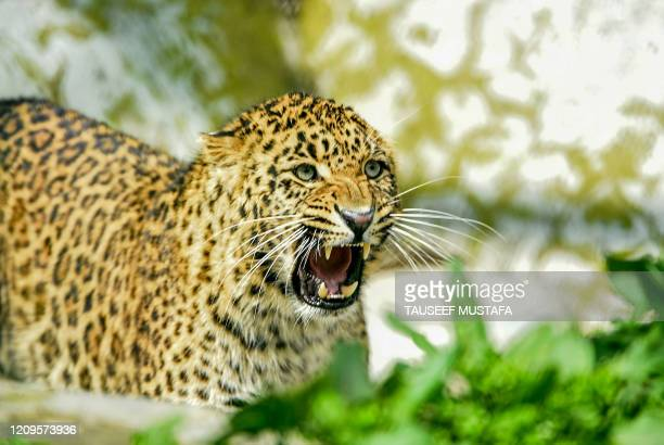 Leopard reacts as he walks inside the Dachigam National Park during a government-imposed nationwide lockdown as a preventive measure against the...