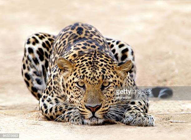 leopard ready for attack - leopard stock pictures, royalty-free photos & images