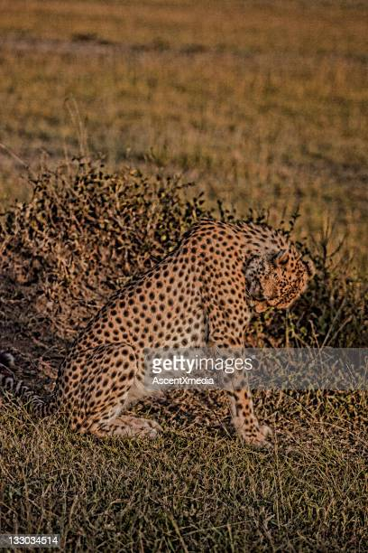 Leopard (Panthera pardus) relaxes among grasses