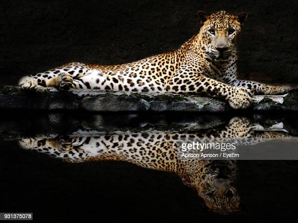 Leopard Relaxing At Lakeshore