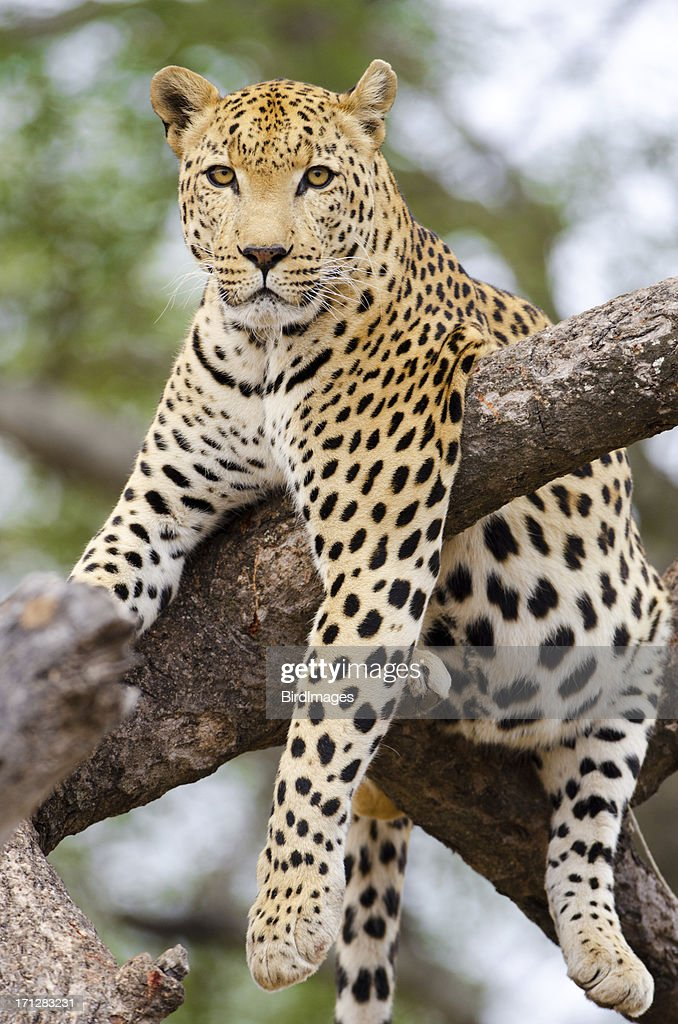 Leopard Stock Photos and Pictures Getty Images
