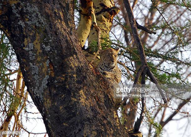 Leopard relaxing on an Acacia tree