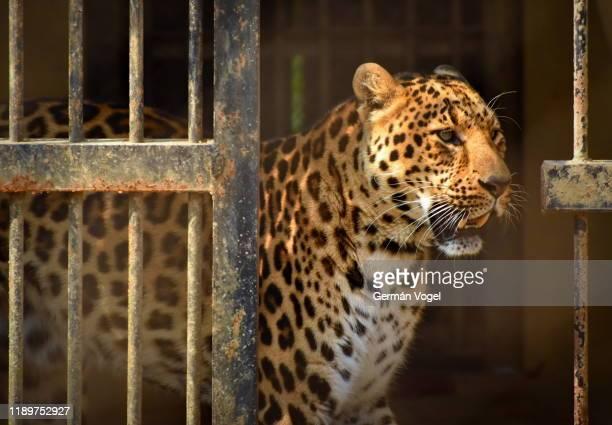 leopard release from cage - animales en cautiverio fotografías e imágenes de stock