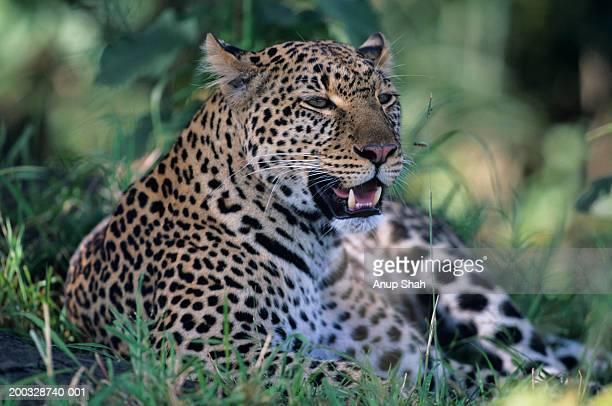 Leopard (Panthera pardus), resting in grass, Kenya