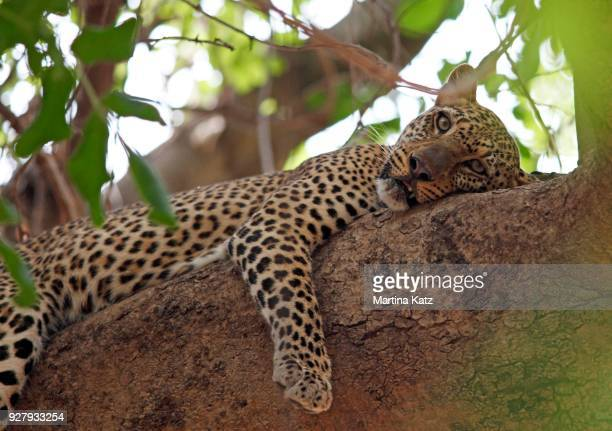 leopard (panthera pardus) resting in tree, south luangwa national park, zambia - south luangwa national park stock pictures, royalty-free photos & images