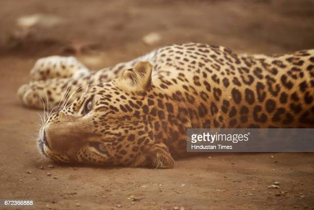 Leopard rests at Zoological Park on a hot summer day on April 24 2017 in New Delhi India
