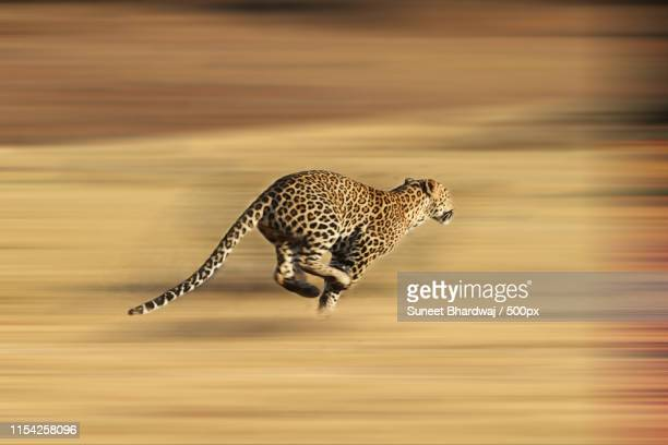 leopard running for life - leopard stock pictures, royalty-free photos & images