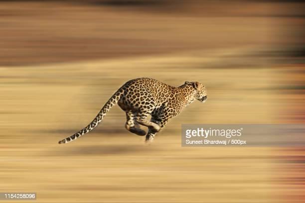 leopard running for life - leopardo foto e immagini stock