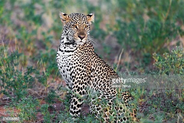 Leopard (Panthera pardus), Samburu Game Reserve, Kenya, Africa