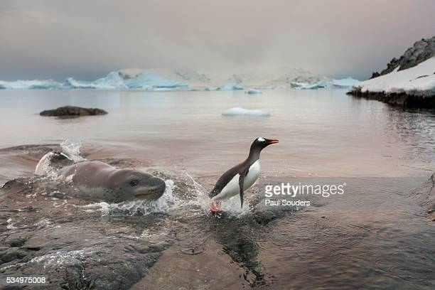 leopard seal ambushes penguin, cuverville island, antarctica - leopard seal stock pictures, royalty-free photos & images