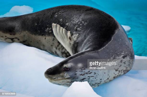 leopard seal, antarctic - leopard seal stock pictures, royalty-free photos & images