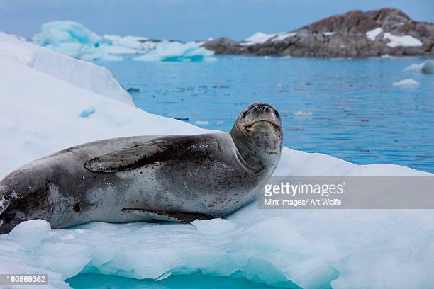 leopard seal, antarctica - leopard seal stock pictures, royalty-free photos & images