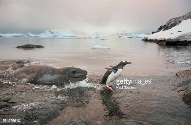 leopard seal hunting gentoo penguin, antarctica - leopard seal stock pictures, royalty-free photos & images