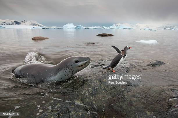leopard seal hunting gentoo penguins, antarctica - leopard seal stock pictures, royalty-free photos & images